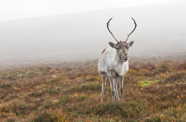 Misty Mountain Deer!
