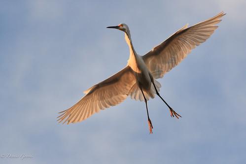 action background bird egret flight florida greategret staugustine sunset wildlife unitedstatesofamerica us