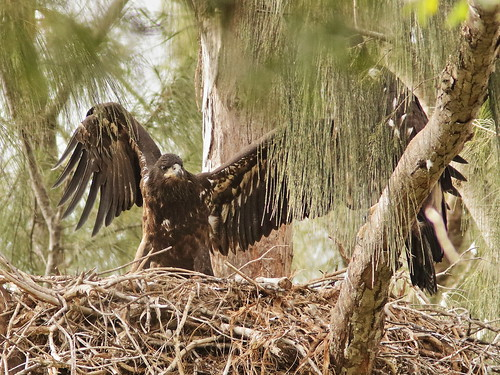 Bald Eaglets male flapping  03-20190403