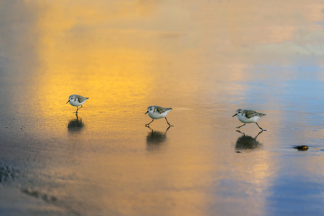 3 Sanderlings at Venice Beach