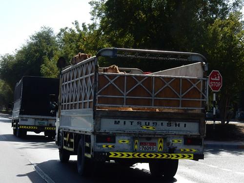 Al Ain - kamelenvervoer
