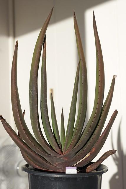Aloe wickensii var. lutea