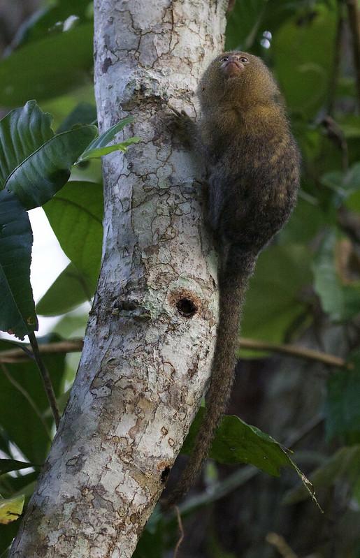 Pygmy Marmoset, Cebuella pygmaea Ascanio_Peruvian Amazon 199A6986