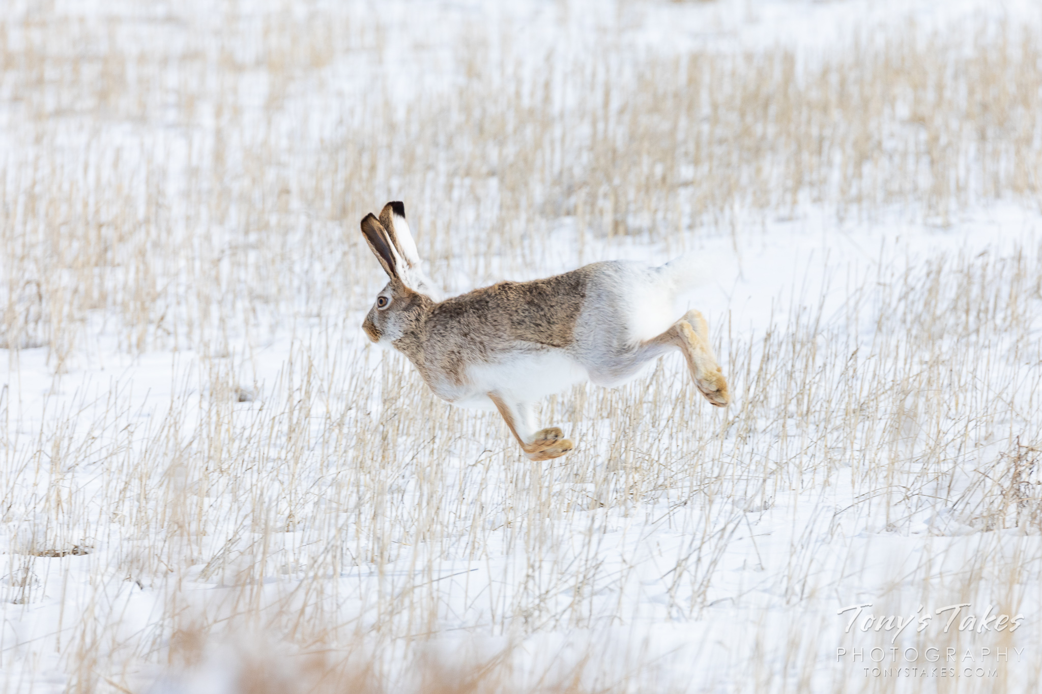 A white-tailed jackrabbit takes off running on the Colorado plains. (© Tony's Takes)