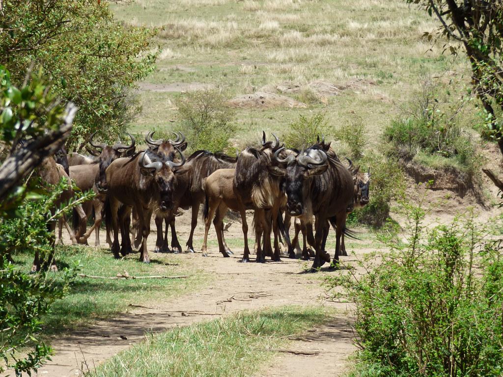 Migrating blue wildebeest loitering near river after false start at crossing, Masai Mara