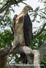 White-bellied Sea Eagle (Haliaeetus leucogaster), juvenile DSC_1016 by fotosynthesys