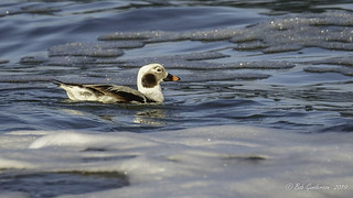 Long-tailed Duck - Adult Male (Winter)