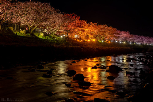 Kawazu_Zakura festival in the night