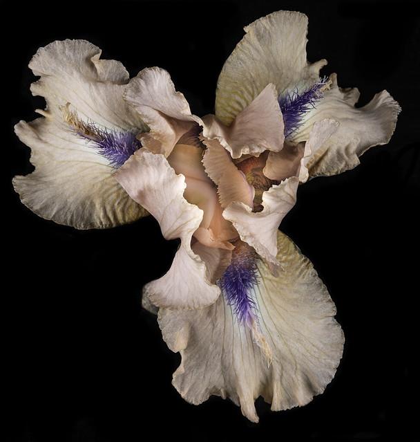 Looking Down On A Rebloomer Iris