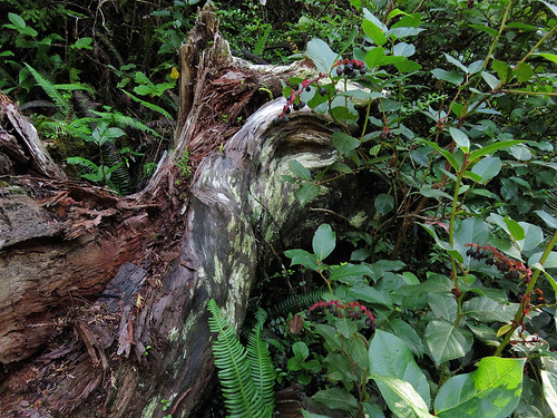 Nurse log and undergrowth on the Tonquin Trail in Tofino on Vancouver Island