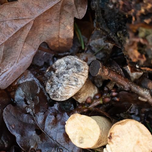 Enigmatic fungi (stumpy stem, small cap)