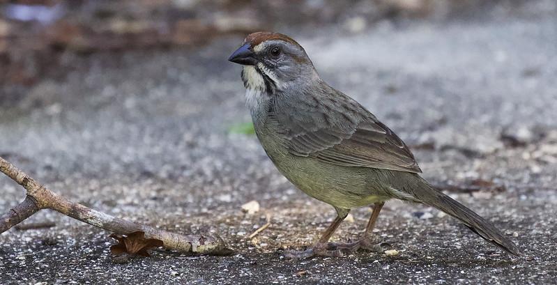 Zapata Sparrow, Torreornis inexpectata Ascanio_Cuba 199A4232