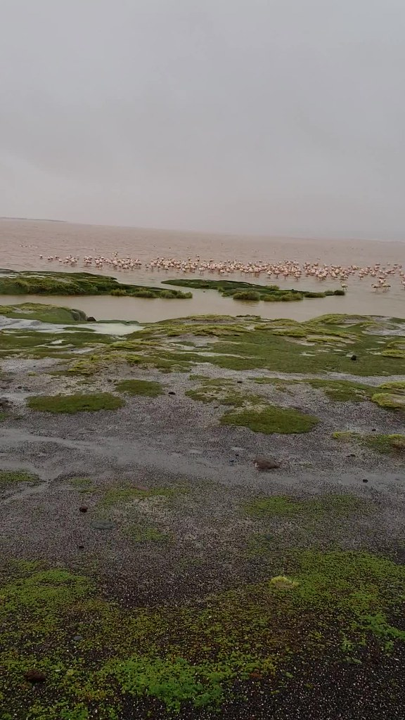 Flamingos, the Red Lagoon (Laguna Colorada), Altiplanos Bolivianos (Bolivian Highlands), Potosí, Bolivia.