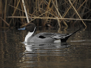 DSCN6398 Northern Pintail | by Dodge Rock