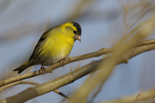 lackfordlakes wild wildlife nature bird suffolk woodland siskin carduelisspinus