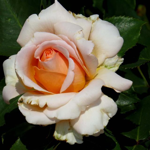 RHS Wisley - Jun 2017 (125) Rose