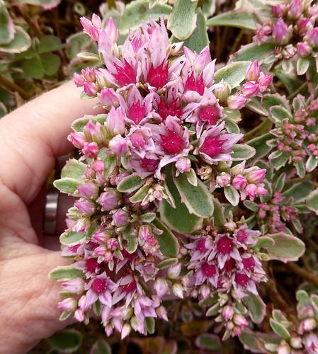 Sedum spurium 'Tricolor' | by anniesannuals