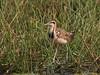 Pheasant-Tailed Jacana by SivamDesign