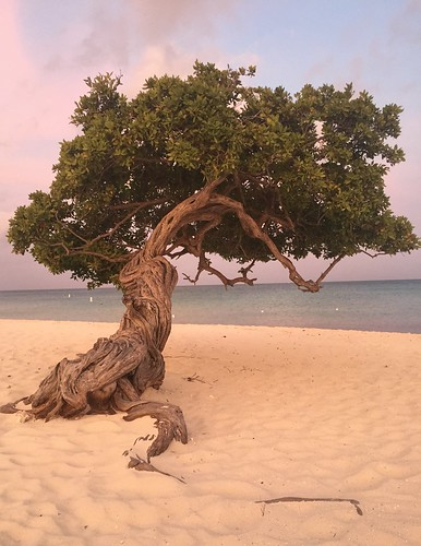 aruba dividivitree tree sunrise