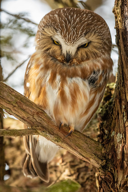 Saw-whet  owls-139.jpg
