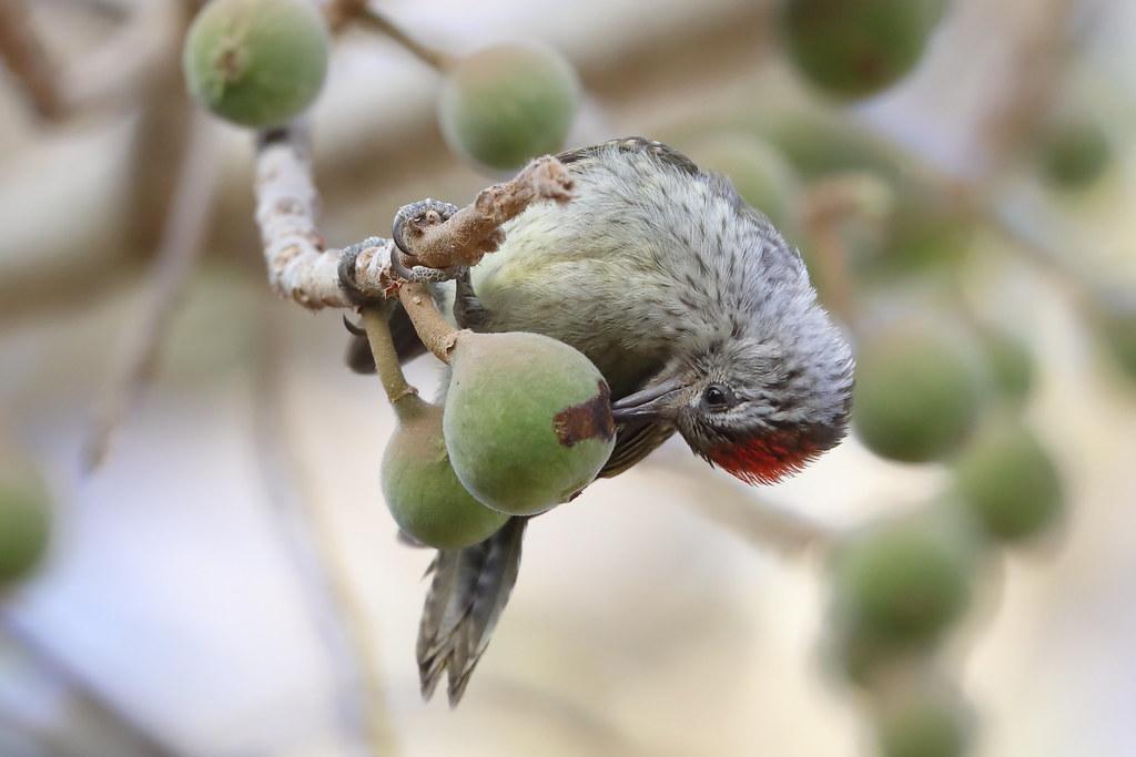 Cardinal Woodpecker  Dendropicos fuscescens