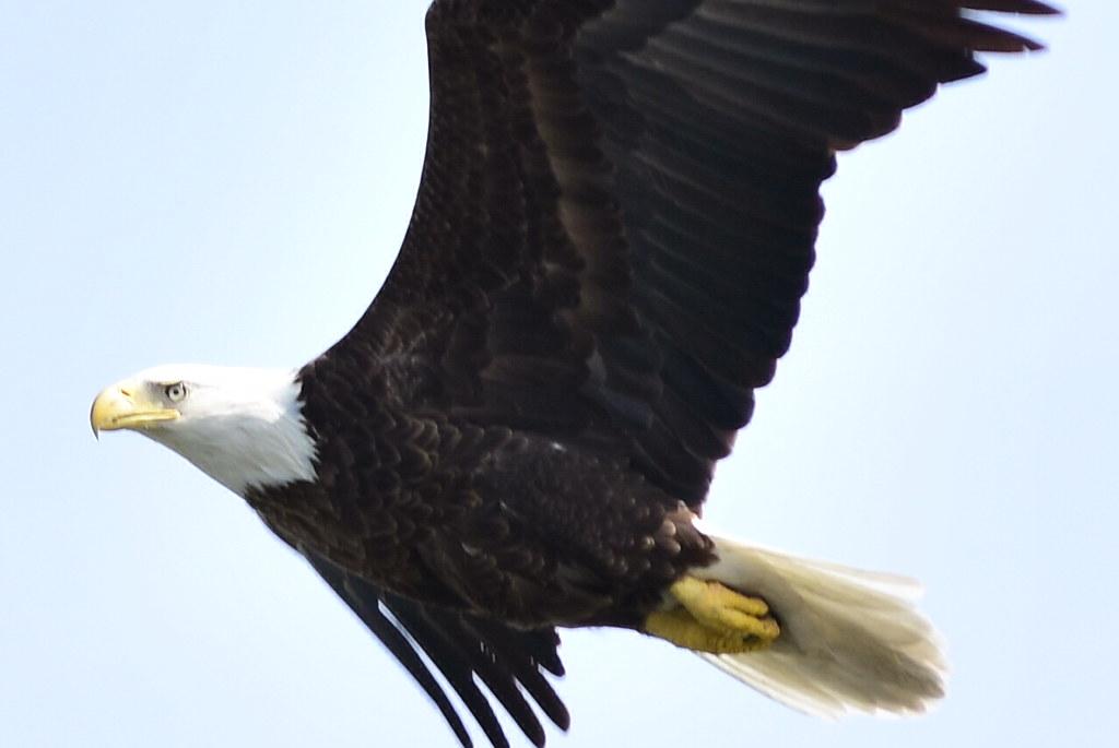 DSC_2522 Bald Eagle @ Centerport cropped