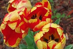 002 More tulips Greensobor, NC