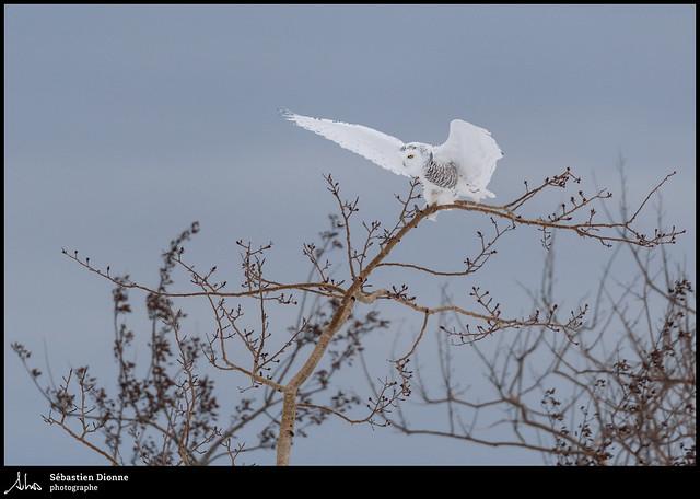 Harfang des neiges  EXPLORE 18-12-24