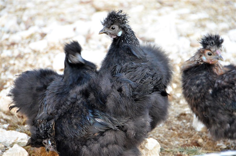 Silky Chickens 04.01 (17)
