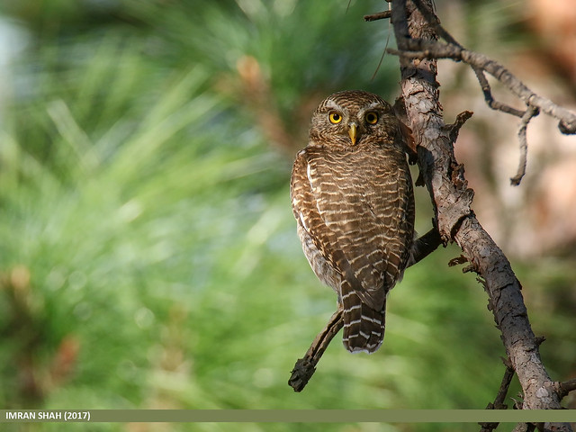 Asian Barred Owlet (Glaucidium cuculoides)