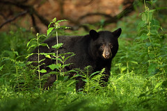 Spring in Shenandoah National Park Brings Fawns, Ferns and ... Black Bears