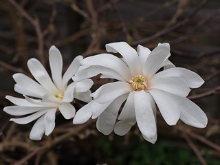 Magnolia stellata Royal Star