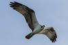 Osprey (Pandion haliaetus) by Ron Winkler nature