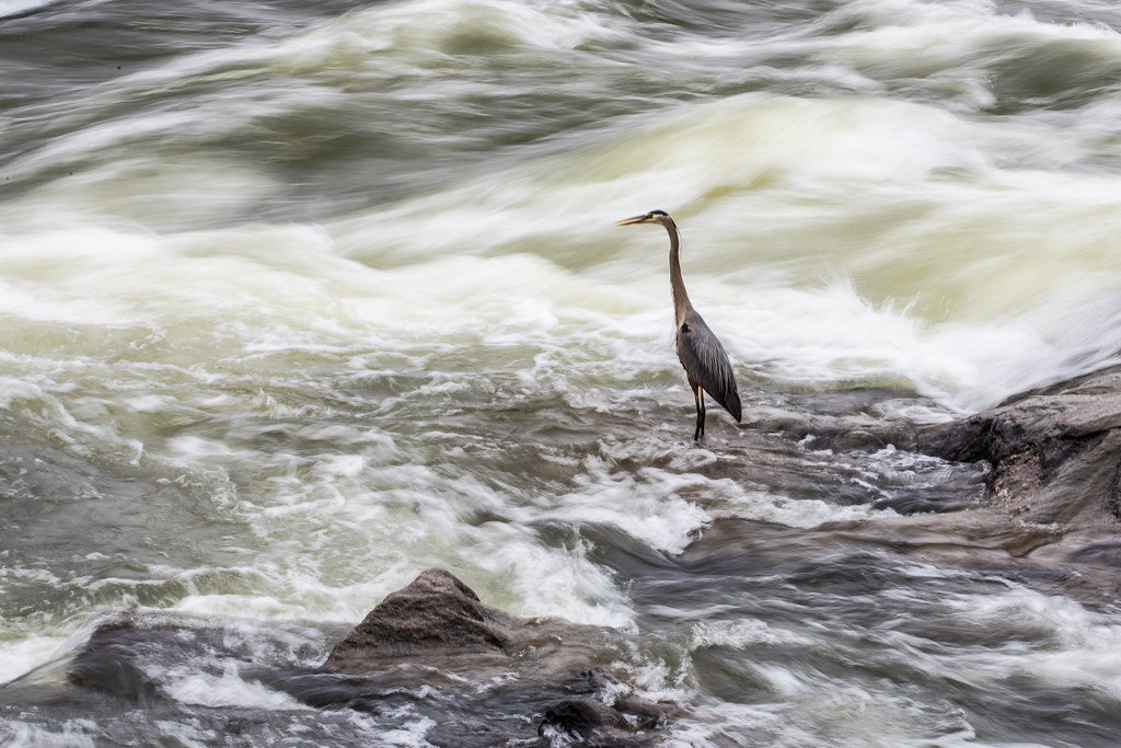 heron in the rapids