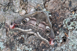 D1213925 Emperor Moth | by Nick Sidle