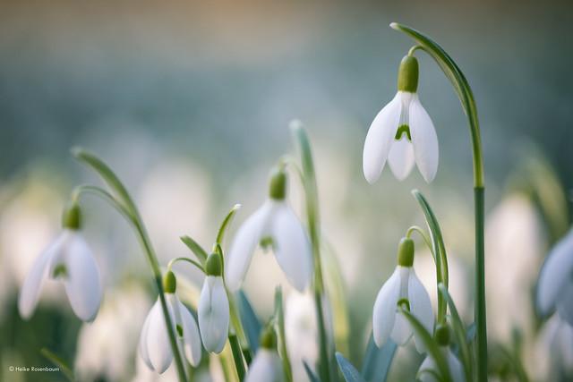 Snowdrop meadow - Schneeglöckchenwiese