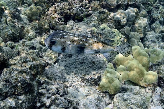 giant porcupinefish: Diodon hystrix