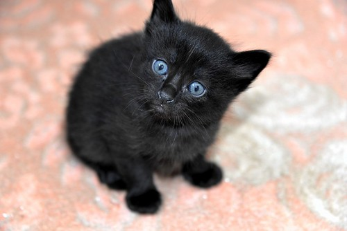 Yoel, gatito monisimo pelo semilargo negro esterilizado, nacido en Febrero´19, en adopción. Valencia. 33583666958_e215d48f4f