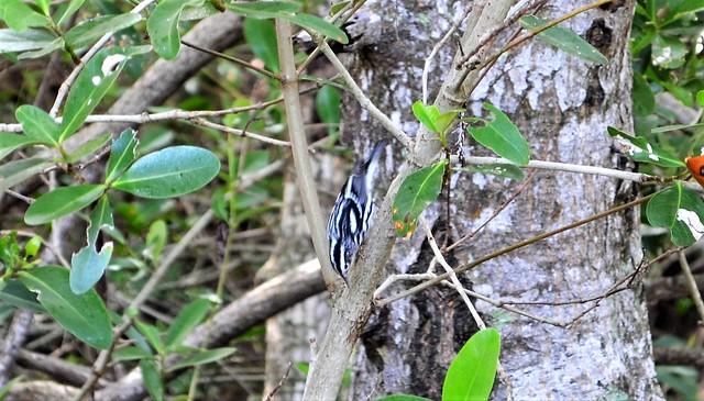 Passeriformes Order --  an unidentified passerine bird 0087
