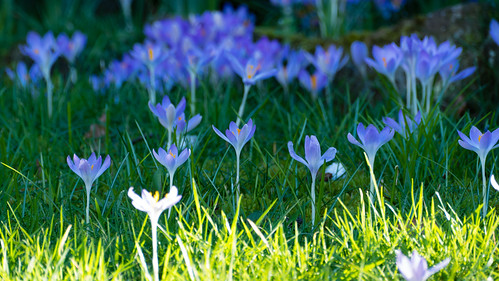 Before and after: crocuses