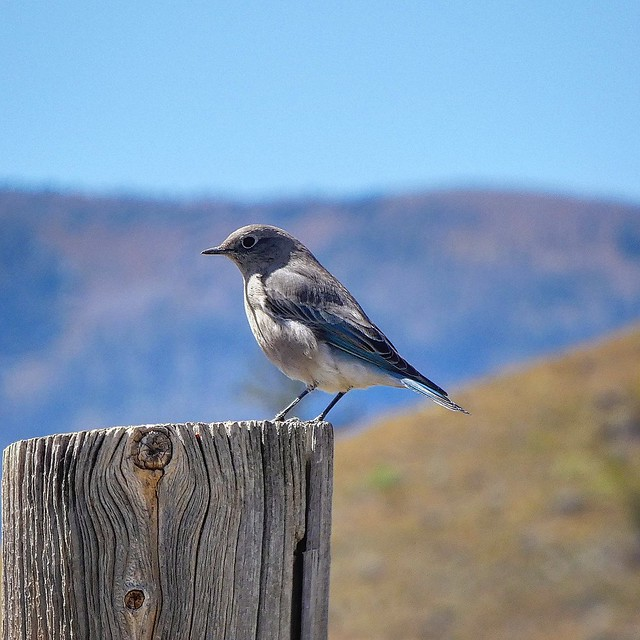 Mountain Bluebird Creede, Colorado