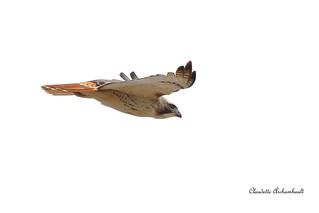 Buse à Queue rousse, Red-tailed Hawk | by Claudette Archambault