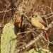Pyrrhuloxia (Cardinalis sinuatus) female.  Bosque del Apache National Wildlife Refuge, New Mexico, USA. by cbrozek21