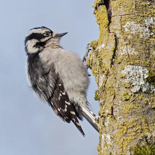 Downy Woodpecker | by nickinthegarden