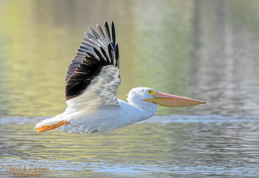 American White Pelican - Explore