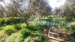 Ramassage des olives compagne 2018-2019 (à Ghar El Melh, Tunisie)