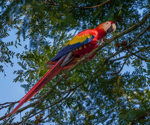 Scarlet Macaw   by Rob Eyers