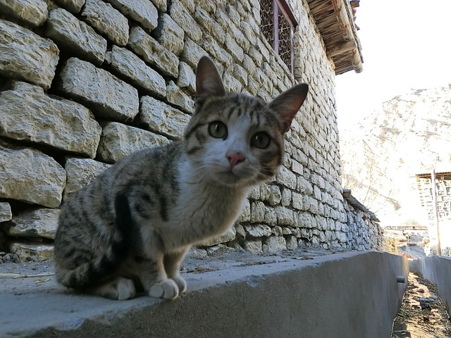 Cat in Jomsom