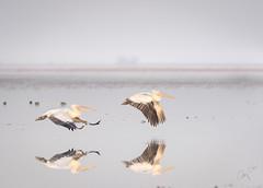 Rosy Pelicans