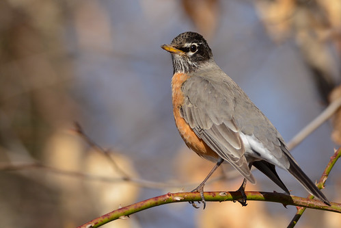 birds nikon nikond7100 tamronsp150600mmf563divc jdawildlife johnny portrait closeup eyecontact americanrobin robinamerican gorgeous whatbirdbestofday brilliant